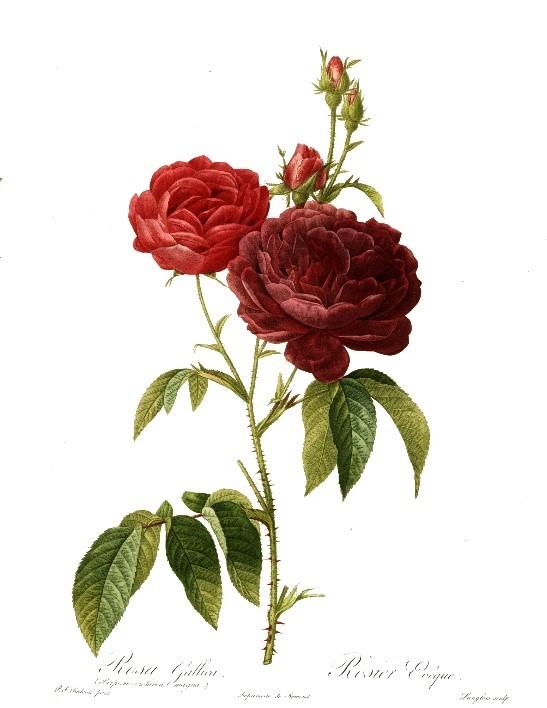 imagen de una rosa