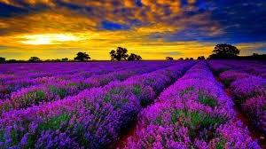 Atardecer en un campo de avanda en flor