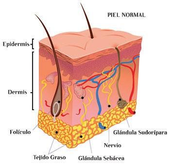 la epidermis son sólo células muertas