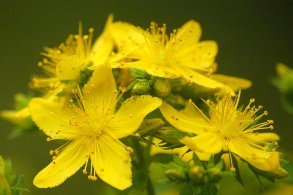 Flor de la hierba de San Juan