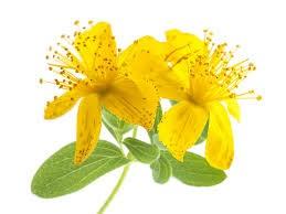 Flor del aceite de hipérico