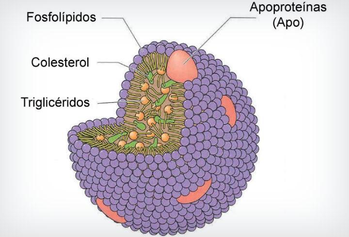 Las lipoproteínas