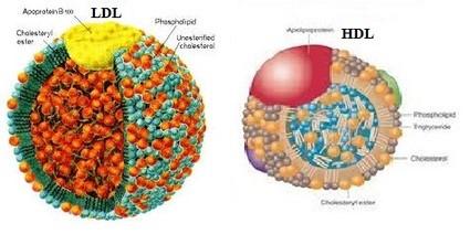 Estructura de LDL y HDL colesterol