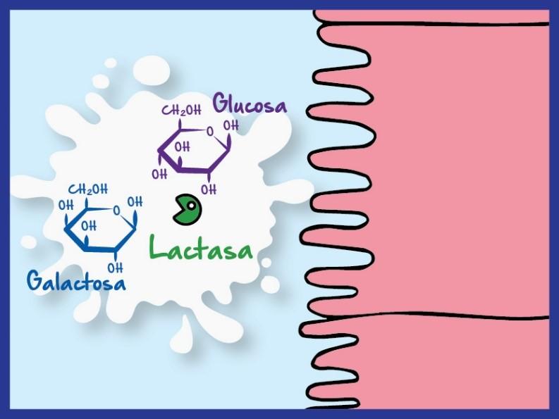 Acción de la lactasa sobre la lactosa