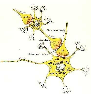 receptores neuronales