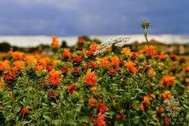 Flores de cártamo