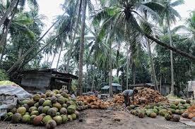 Recolecta de coco en África
