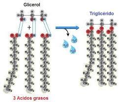 Esterificación de los ácidos grasos y glicerina en triglicéridos