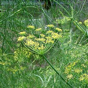 Hinojo Foeniculum vulgare comun