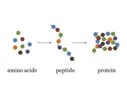 Reacción de varios aminoácidos para formar una proteína