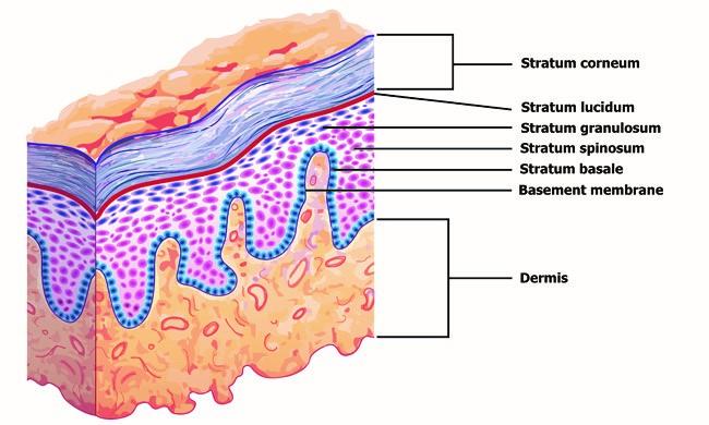 capas de la epidermis