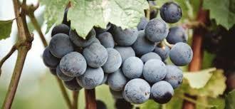 La piel de la uva contiene resveratrol