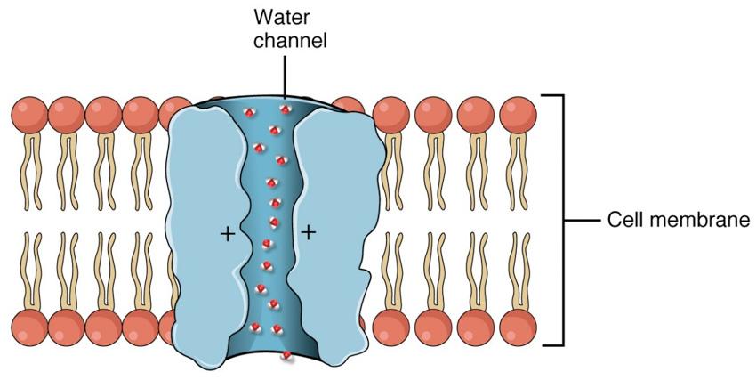 Acuaporinas los canales del agua en la piel
