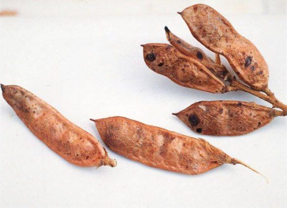 Legumbres de Glycyrrhiza glabra