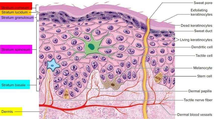 Capas de la epidermis y filagrina