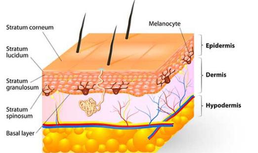 Esquema de las capas de la piel