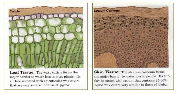 Diferencias entre la estructura de una hoja y la piel