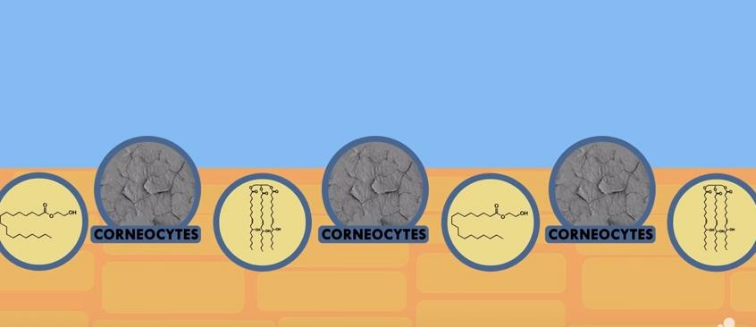 Emolientes_barrera de corneocitos ligados con lípidos