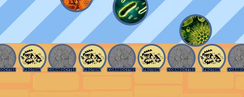 Stratum corneum, barrera de corneocitos unidos por proteínas