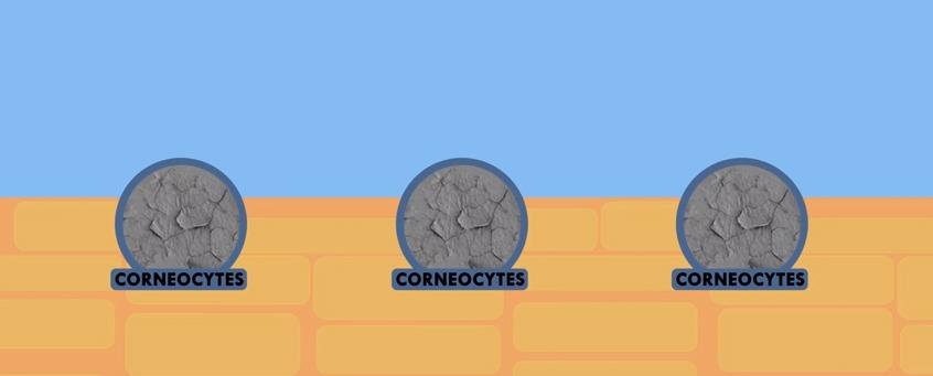 Emolientes_corneocitos libres