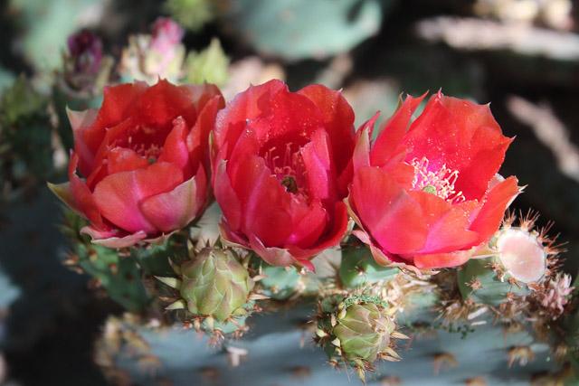 Flores rojas de higo chumbo