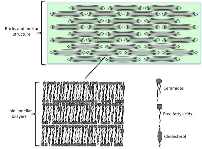 Estructura lipídica entre los corneocitos