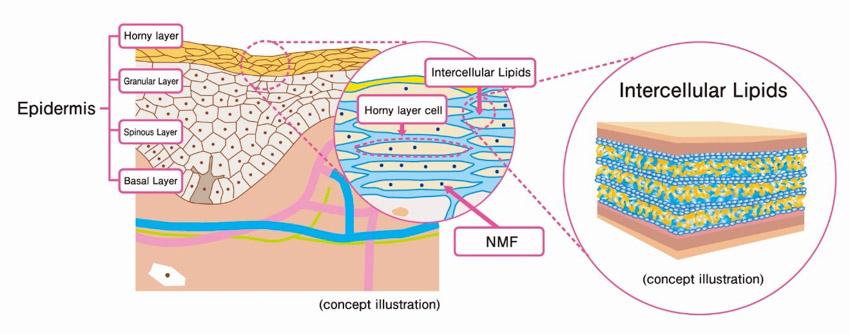 Localización del NMF en los corneocitos