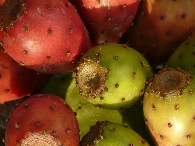 Frutos de higo chumbo