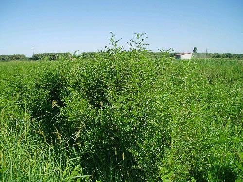 En la foto apreciamos el cultivo de segundo año. (ELS 2004)