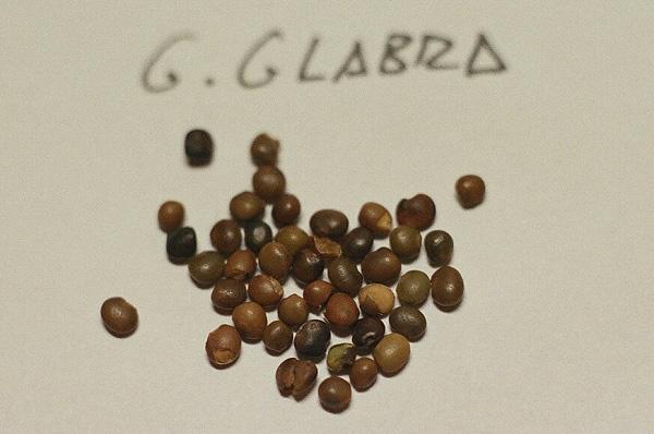 semillas de la planta de regaliz
