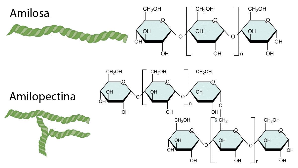 Estructura química del almidón, hidrato de carbono
