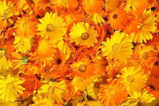 Flores de caléndula. Sus hojas contienen polisacáridos para curar heridas