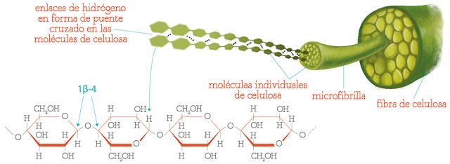 Estructura de las fibras de celulosa