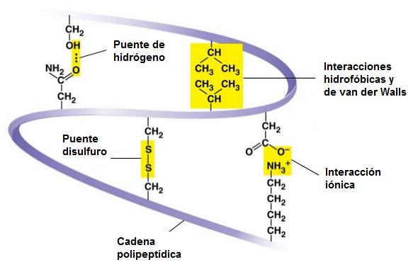 Enlaces entre diferentes cadenas proteicas