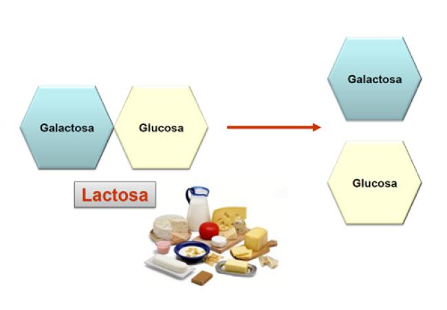 Lactosa compuesta por galactosa y glucosa