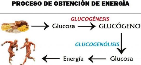 Glucogénesis y glucogenólisis