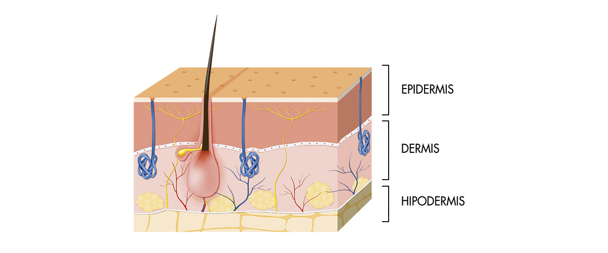 Epidermis, dermis e hipodermis