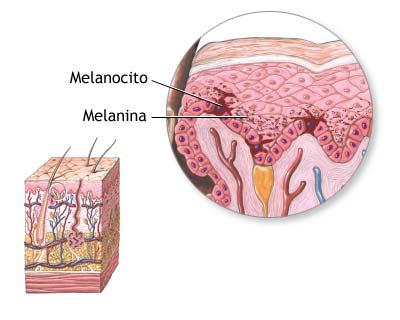La melanina se produce en los melanocitos
