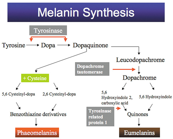 Etapas de síntesis de la melanina