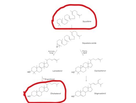 Síntesis del colesterol a partir del escualeno