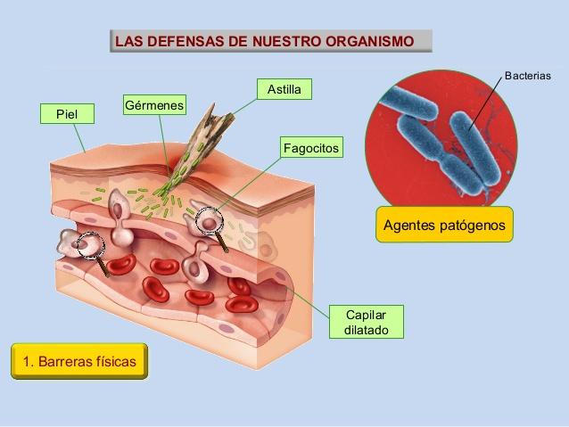 El manto ácido ejerce de barrera de defensa frente a organismos patógenos