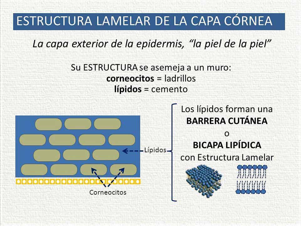 Estructura lamelar del stratum corneum