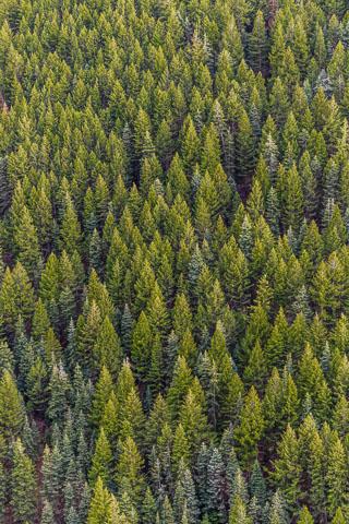 Los pinos contienen pineno