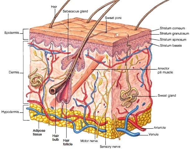 Esquema de las capas que forman la piel