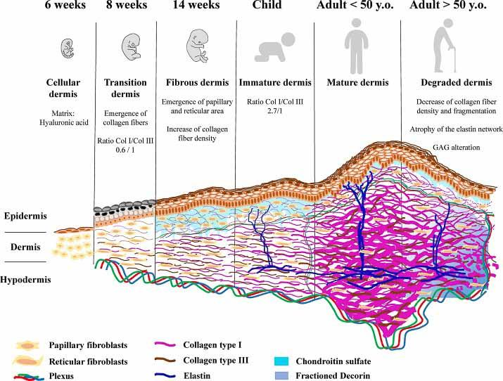 Evolución de la dermis con la edad
