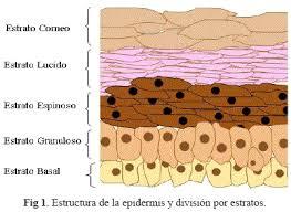 Subcapas de la epidermis
