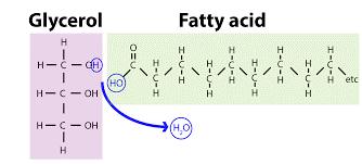 Reacción de la glicerina con un ácido graso