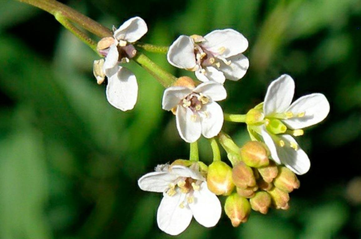Flor de abisinia