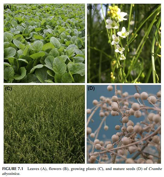 Hojas, flores, plantas y semillas de abisinia